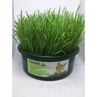 macskafű-keltetett-búzafű